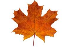 jeden spadać liść klonowy zdjęcia royalty free
