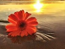 Jeden stokrotka kwiat Na plaży Przy zmierzchem Obrazy Royalty Free