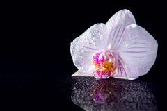 Jeden storczykowy kwiat z wod kroplami i odbicie na czarnym bac Obraz Royalty Free