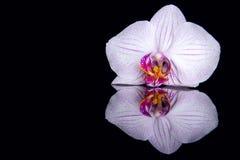 Jeden storczykowy kwiat z wod kroplami i odbicie na czarnym bac Zdjęcia Stock