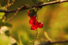 Jeden trzon na dużym branc rodzynki Golde godzina jest tutaj Piękne czerwone jagody dla jeść fotografia royalty free