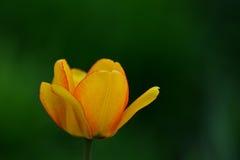 jeden tulipanowy żółty Fotografia Royalty Free
