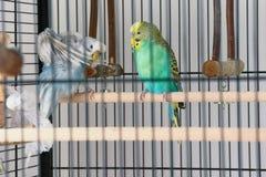 Jeden turkusowy budgie i jeden bławy budgie obsiadanie w swój klatce Obraz Royalty Free
