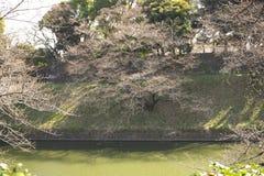 Jeden tydzień zanim sakuracherry okwitnięcie zasięg pełny kwiat przy Chidorigafuchi, Tokio Fotografia Royalty Free