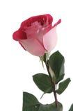 jeden z czerwoną różę tło białe Obrazy Stock