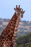 jeden z dwóch żyrafy zdjęcia stock