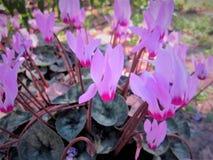 Jeden zamknięty różowi cyklamenów kwiaty up Fotografia Royalty Free