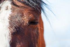 Jeden zamykający oko Podpalany koń halfback obrazy royalty free