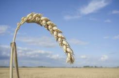 Jeden zbożowy ucho przy pszenicznym polem nad niebieskim niebem Fotografia Royalty Free