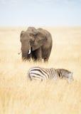 Jeden zebra w Afryka i słoń Fotografia Royalty Free