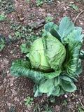 Jeden Zielona kapusta Odizolowywająca w podwórko zdjęcie royalty free
