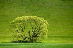 Jeden zielony drzewo na łące Obraz Royalty Free