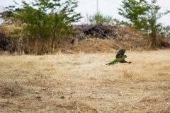 Jeden zielony papuzi latanie obrazy stock