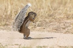 Jeden Zmielona wiewiórka używać swój ogon jako osłona w gorącym Kalaha Fotografia Stock
