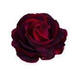 Jeden zmrok - czerwieni róża Fotografia Royalty Free