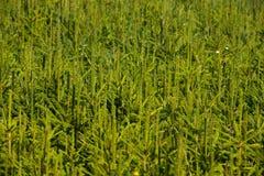 Jedlinowa drzewna pepiniera, młody świerkowy dorośnięcie Obraz Royalty Free