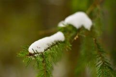 Jedlinowa gałąź w zimie z śniegiem na nim Fotografia Royalty Free