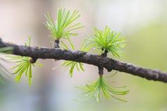 Jedlinowa gałąź z potomstwo zieleni liśćmi Świerkowych igieł makro- widok miękkie tło głębokość pola płytki Natura Obraz Royalty Free