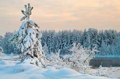 jedlinowa lasów drzewa zima Fotografia Royalty Free