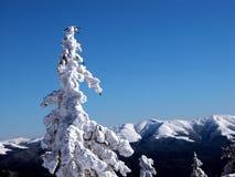 jedlinowego białe drzewa zdjęcie royalty free