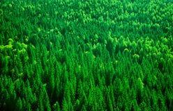 Jedlinowego drzewa lasu tło Zdjęcia Stock