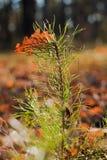 jedlinowego drzewa potomstwa Zdjęcia Stock
