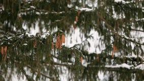 Jedlinowego drzewa rożki na gałąź Wiecznozielona świerczyna podczas zimy opad śniegu Piękny bożego narodzenia tło z ładnym bokeh  zbiory