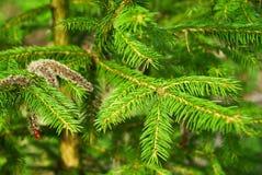 Jedlinowego drzewa roślina Zdjęcie Stock