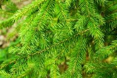 Jedlinowego drzewa roślina Obraz Royalty Free