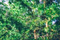 Jedlinowego drzewa szczegóły Fotografia Royalty Free