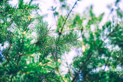 Jedlinowego drzewa szczegóły Zdjęcia Stock