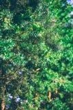 Jedlinowego drzewa szczegóły Zdjęcia Royalty Free