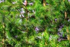 Jedlinowego drzewa tekstura Obrazy Royalty Free