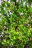 Jedlinowego drzewa tekstura Fotografia Royalty Free