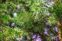 Jedlinowego drzewa tekstura Obraz Royalty Free