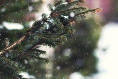 Jedlinowego drzewa zima Zdjęcia Royalty Free