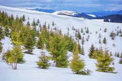 Jedlinowi drzewa Zdjęcie Stock