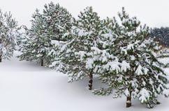 Jedlinowi drzewa Zdjęcia Stock