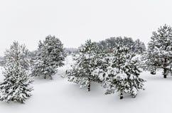 Jedlinowi drzewa Fotografia Royalty Free