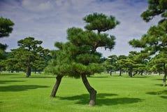 jedlinowi drzewa Fotografia Stock