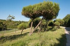 Jedlinowi drzewa r w Porto miasta parku w Portugalia, na pogodnym letnim dniu obrazy royalty free