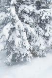 Jedlinowi drzewa w śniegu Fotografia Stock