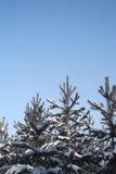 Jedlinowi drzewa w zimie Zdjęcie Royalty Free