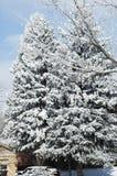 Jedlinowi drzewa z nowym śniegiem z okoliczną drewno gałąź, Obraz Royalty Free
