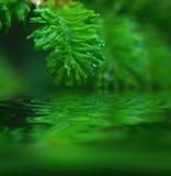 jedlinowi makro młodych drzew Obrazy Royalty Free