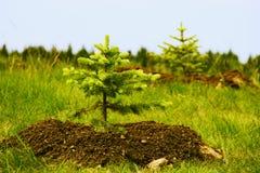 jedlinowi mali uprawiani drzewa dwa Obrazy Royalty Free