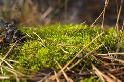 Jedlinowi rożki kłama na ziemi w drewnach wśród jedlinowych igieł Fotografia Stock