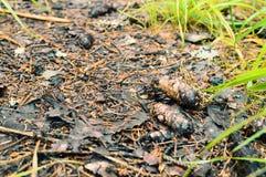 Jedlinowi rożki w lesie na drodze zdjęcia royalty free