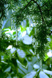 jedlinowi sople tree obraz stock