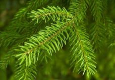 jedlinowy branchis drzewo s Obrazy Royalty Free